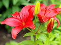 Red Lilies. Royalty Free Stock Photo - 56083745