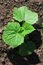 Cucumber Plant Royalty Free Stock Images - 5617209