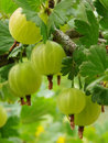 Ripening Gooseberries Stock Image - 5618171