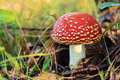Amanita Muscaria Stock Photos - 56104093