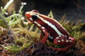 Poison Red Frog Stock Photography - 56107032