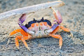 Orange Crab Stock Image - 56137061