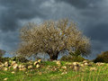 Old Almond Tree Royalty Free Stock Images - 56191329