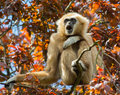 Gibbon Sitting In Tree Stock Images - 56195664