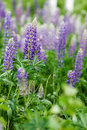 Purple Lupin Flower Stock Image - 5622701