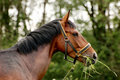 Eating Bay Horse Royalty Free Stock Images - 5627099