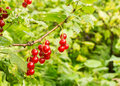 Currants In The Garden After The Rain Royalty Free Stock Images - 56202689