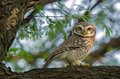 Spotted Owl Stock Photo - 56210270