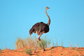 Female Ostrich Stock Image - 56234561