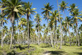Coconut Palm Trees Grove Blue Sky Stock Images - 56236144