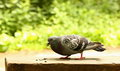 Pigeon Royalty Free Stock Image - 56239386