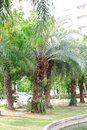 Date Palm Royalty Free Stock Photo - 56252065