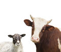 Cow And Sheep Stock Photography - 56261002