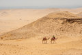 Camels In The Egyptian Desert Stock Photography - 56283912