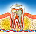 Tooth Stock Images - 5632584