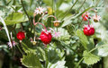 Wild Strawberries Royalty Free Stock Photography - 5632767