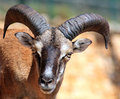 Mouflon Sheep Stock Photos - 5633513