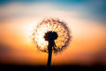 Dandelion Flower With Sunset Stock Images - 56329054
