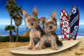 Beach Themed Yorkshire Terriers Royalty Free Stock Photo - 56381325