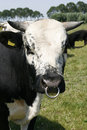 Bull With Snout Ring Royalty Free Stock Photo - 5645665