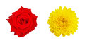 Red Rose And Yellow Chrysanthemum Flower Isolated On White Backg Royalty Free Stock Image - 56413596
