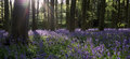 Bluebell Woods Stock Photography - 56416472