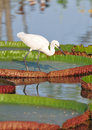 Little Egret Hunting. Royalty Free Stock Photo - 56453935