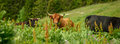 Several Cows In A Meadow Stock Image - 56461911