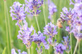 Bee On Lavender Flower Royalty Free Stock Photo - 56485035
