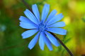 Photo Flower Of Chicory Royalty Free Stock Image - 56492756