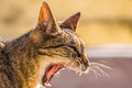 Cat Yawning Foreground Stock Photos - 56492963