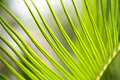 Cycad Frond Royalty Free Stock Images - 5659609
