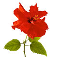 Red Hibiscus Royalty Free Stock Photo - 56548585