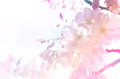 Cherry Blossom Background In Gradient Light. Stock Photography - 56551572