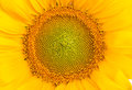Middle Of Sunflower Stock Images - 56566704