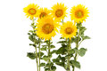 Sunflower Isolated Royalty Free Stock Images - 56569409