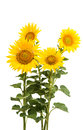 Sunflower Isolated Royalty Free Stock Photos - 56569848
