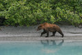 Grizzly Bear On Shoreline Stock Image - 56575011
