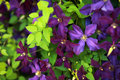 Clematis Royalty Free Stock Photo - 5667175