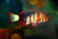 Tropical Fish Stock Image - 56615391
