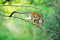 Common Squirrel Monkey Walking On A Tree Branch Stock Image - 56620791