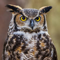 Great Horned Owl Portrait Royalty Free Stock Photos - 56626308