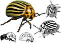 Colorado Potato Beetle Stock Photos - 56633113