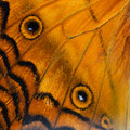 Orange Butterfly Wing Royalty Free Stock Images - 56635869
