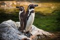 Two Yellow Eyed Penguins Standing On Rock Royalty Free Stock Photo - 56638375
