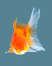 Goldfish Stock Image - 56676951