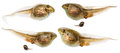 Set Of Frog Tadpoles Close Up Isolated On White Royalty Free Stock Images - 56680739
