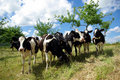 Group Of Cows Stock Photo - 5675520