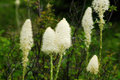 Bear Grass Flowers In Waterton Stock Photography - 5678812