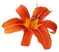 Orange Daylily Stock Photography - 5679832